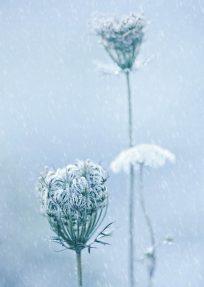 KK043_PK091_WildeMoehre_im_Winter_Wasiczek_CMYK