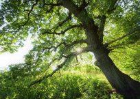 English oak (Quercus robur) at the Biosphere reserve Suedost-Ruegen, Island Vilm, Germany