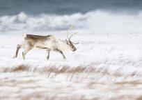 Reindeer at the beach in winter, near Hofn, Iceland, february 2010