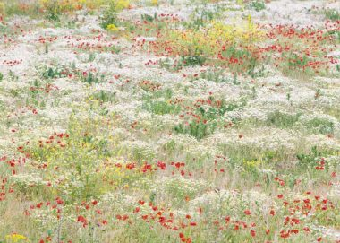 Flower field near Huissen, the Netherlands, june 2011