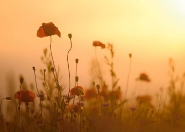 Poppies, Nonnenmuehle, Germany